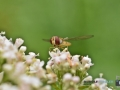 2020-06-29-ÖBG-Makro-Insekten-060-RZL