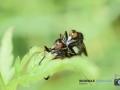 2020-07-09-Makro-Insekten-Paarung-049-RZL