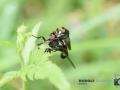 2020-07-09-Makro-Insekten-Paarung-056-RZL