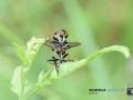 2020-07-09-Makro-Insekten-Paarung-062-RZL