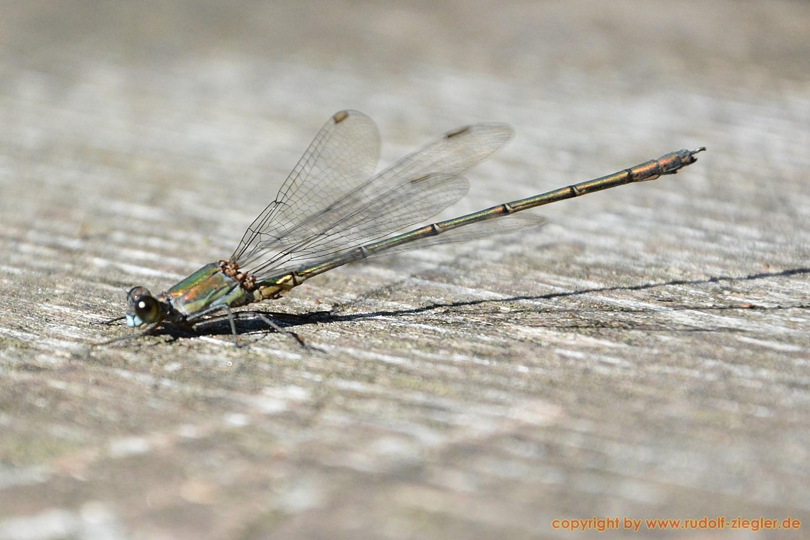 Fichtelsee - Libellen 036-A-S [1600x1200]