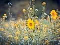 2020-09-23-Sonnenblume-002-RZ-B-L