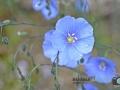 Blüten-ÖBG-001-RZL