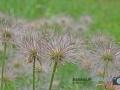 Blüten-ÖBG-012-RZL