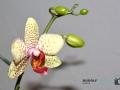 Orchidee 001-RZL