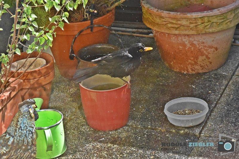 2020-04-08-Amsel-Vogeltränke-022-RZL