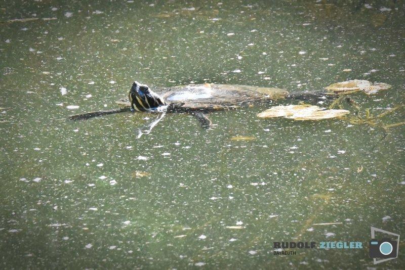2020-04-26-Wasserschildkröte-063-RZL