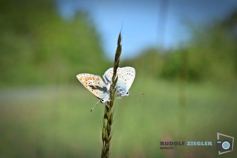 2020-05-21-Schmetterlinge-035-RZL