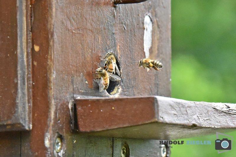 2020-06-05-ÖBG-Maus-Bienen-Eidechse-091-RZL