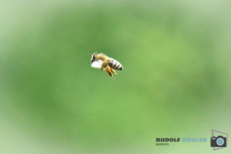 2020-06-05-ÖBG-Maus-Bienen-Eidechse-202-RZL