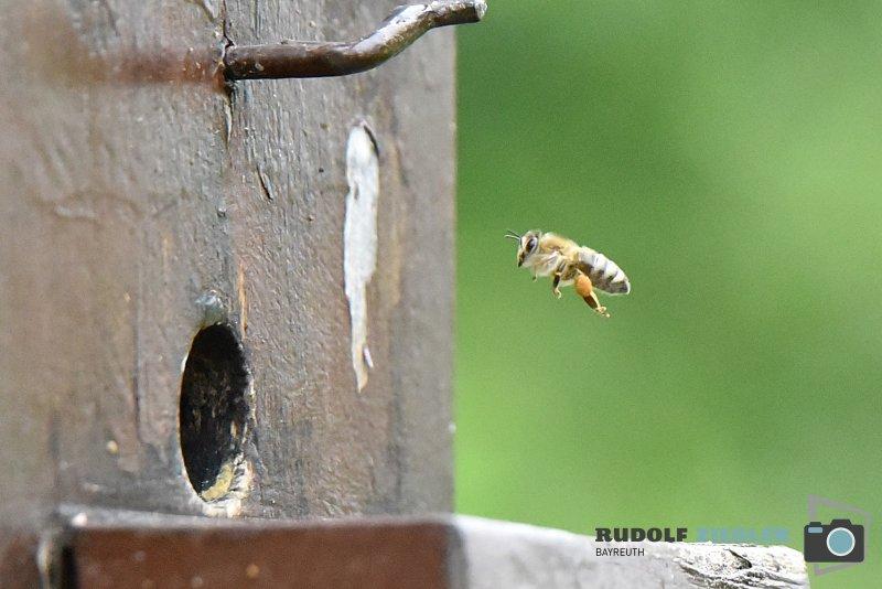 2020-06-05-ÖBG-Maus-Bienen-Eidechse-203-RZL