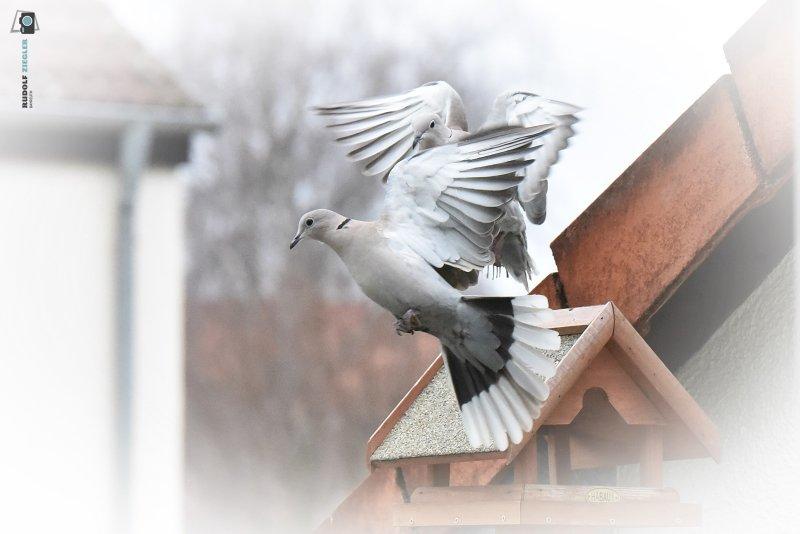 2020-11-28-Vogelhaus-Tauben-011-RZL
