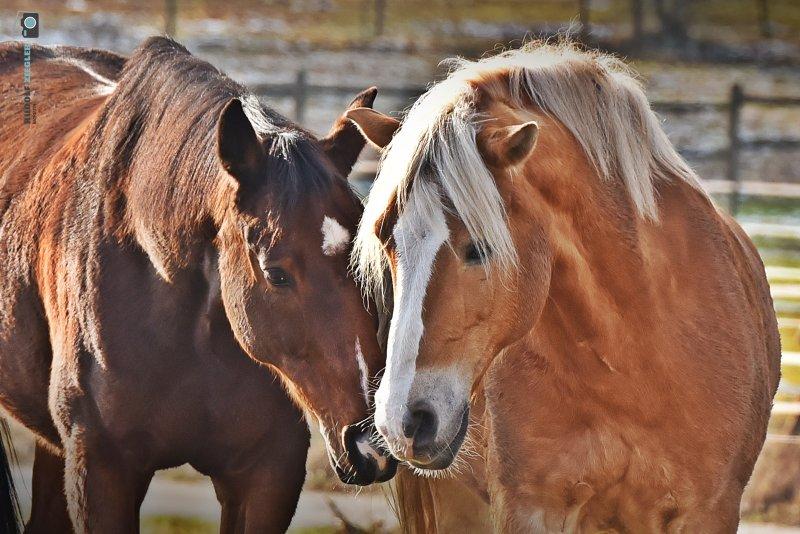2021-01-10-Wasser-Rehe-Pferde-051-RZL