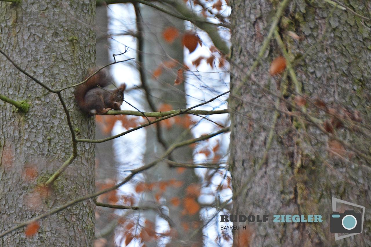 Eichhörnchen 051-RZL