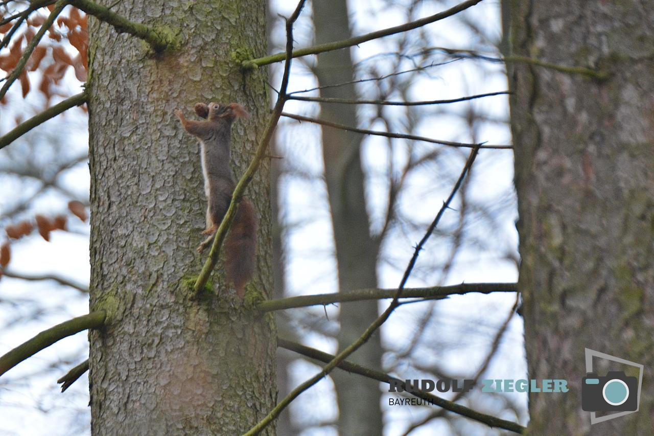 Eichhörnchen 056-RZL2