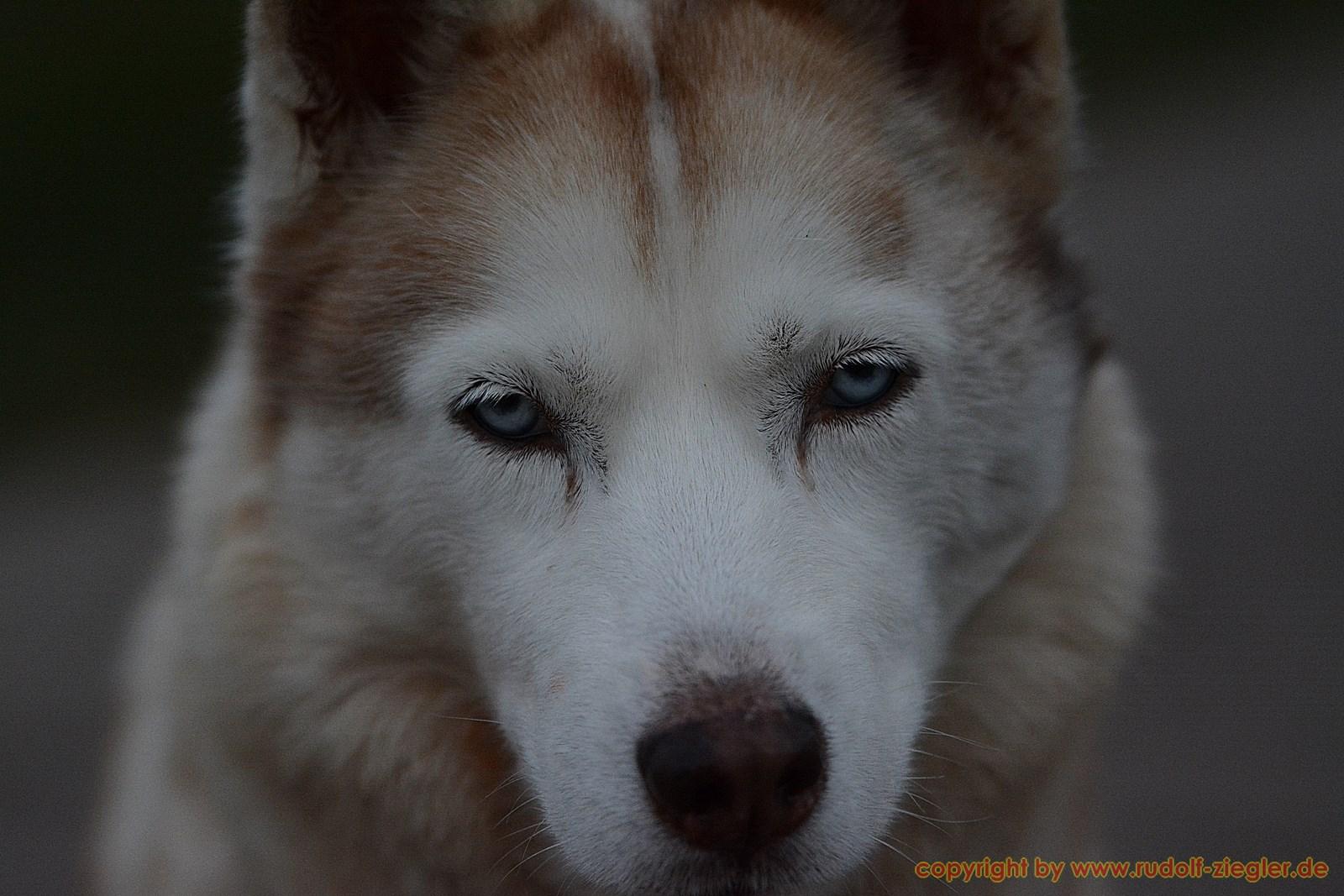 Husky am Buchstein 007-S [1600x1200]