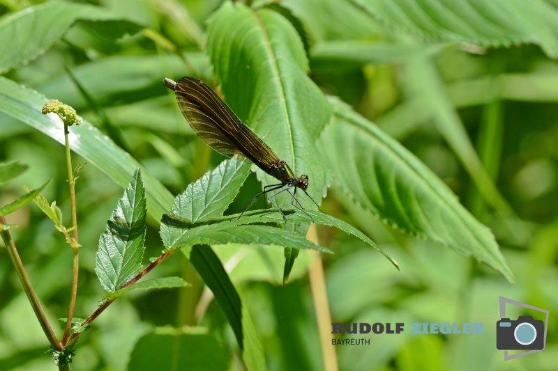 Libellen-055-RZL
