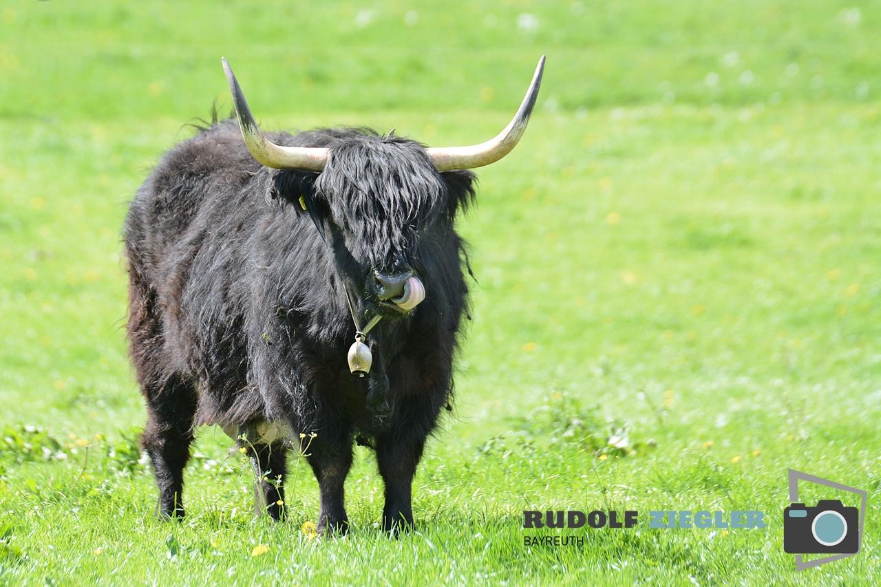 Rinder bei Gubitzmoos 009-RZL