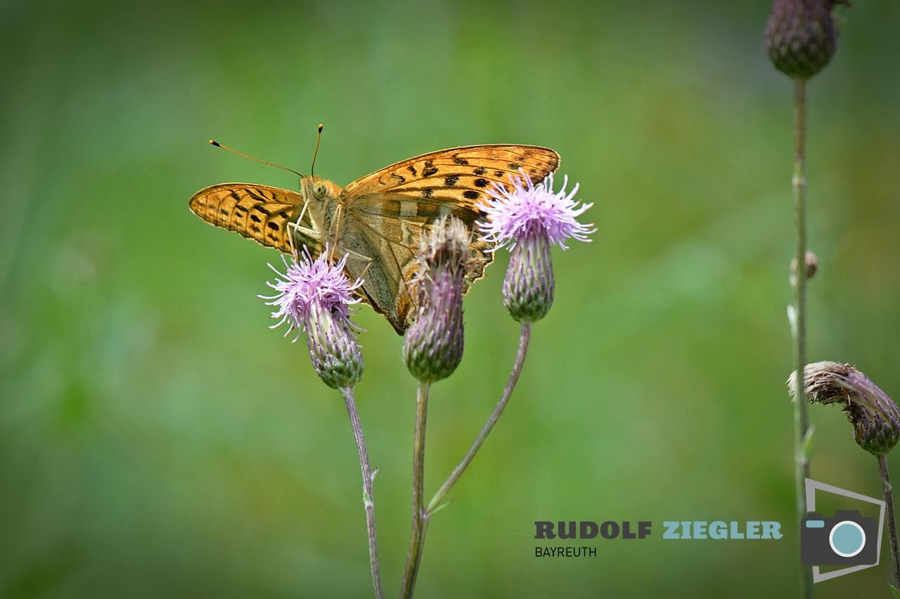 Schmetterlinge 003-RZL