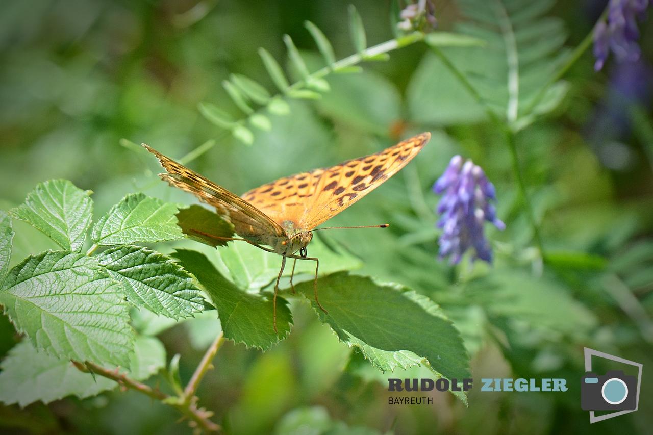 Schmetterlinge 050-RZL