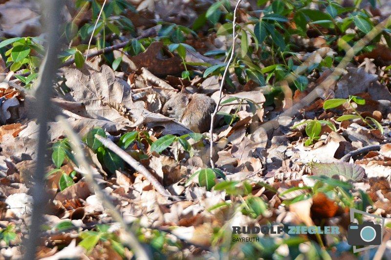 Storch-Vogel-Maus-078-RZL