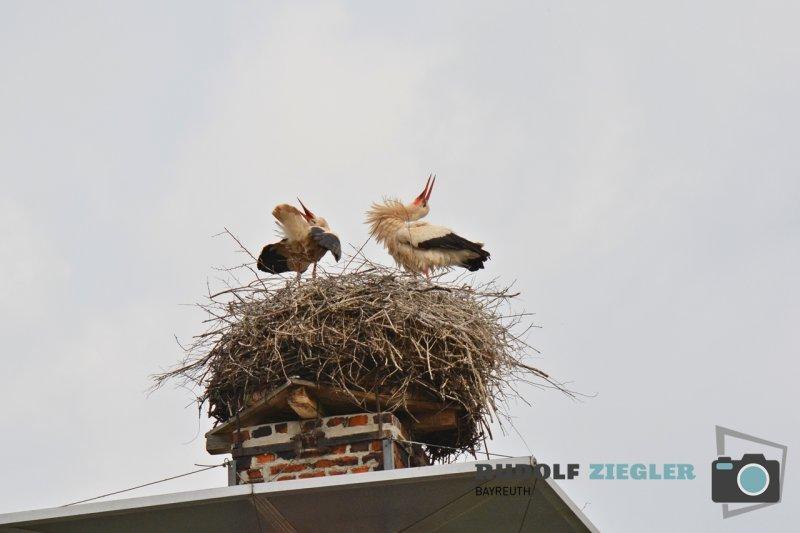Storchenfamilie-150-RZL