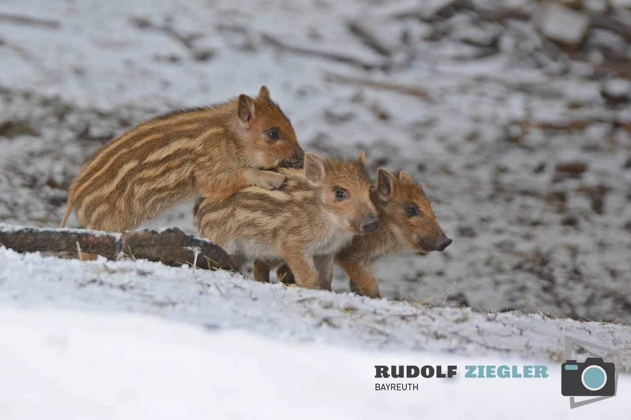 Wildgehege Hufeisen 081-RZL