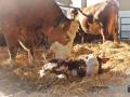 2020-02-05-Geburt-Kalb-004-RZL2