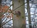 Eichhörnchen 058-RZL
