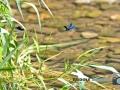 Libellen-081-RZL