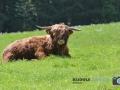 Rinder bei Gubitzmoos 001-RZL