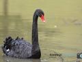 Schwarzer Trauerschwan 101-RZ